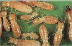Termite_4