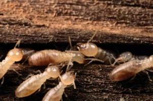 termite_3